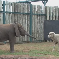 sheep and elephant best friends